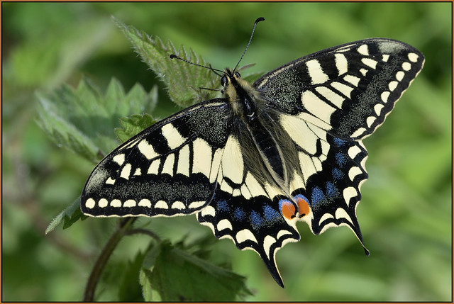 Swallowtail (image 2 of 3)