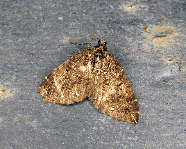 70.103 Water Carpet - Lampropteryx suffumata