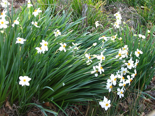 'Poets' daffodils