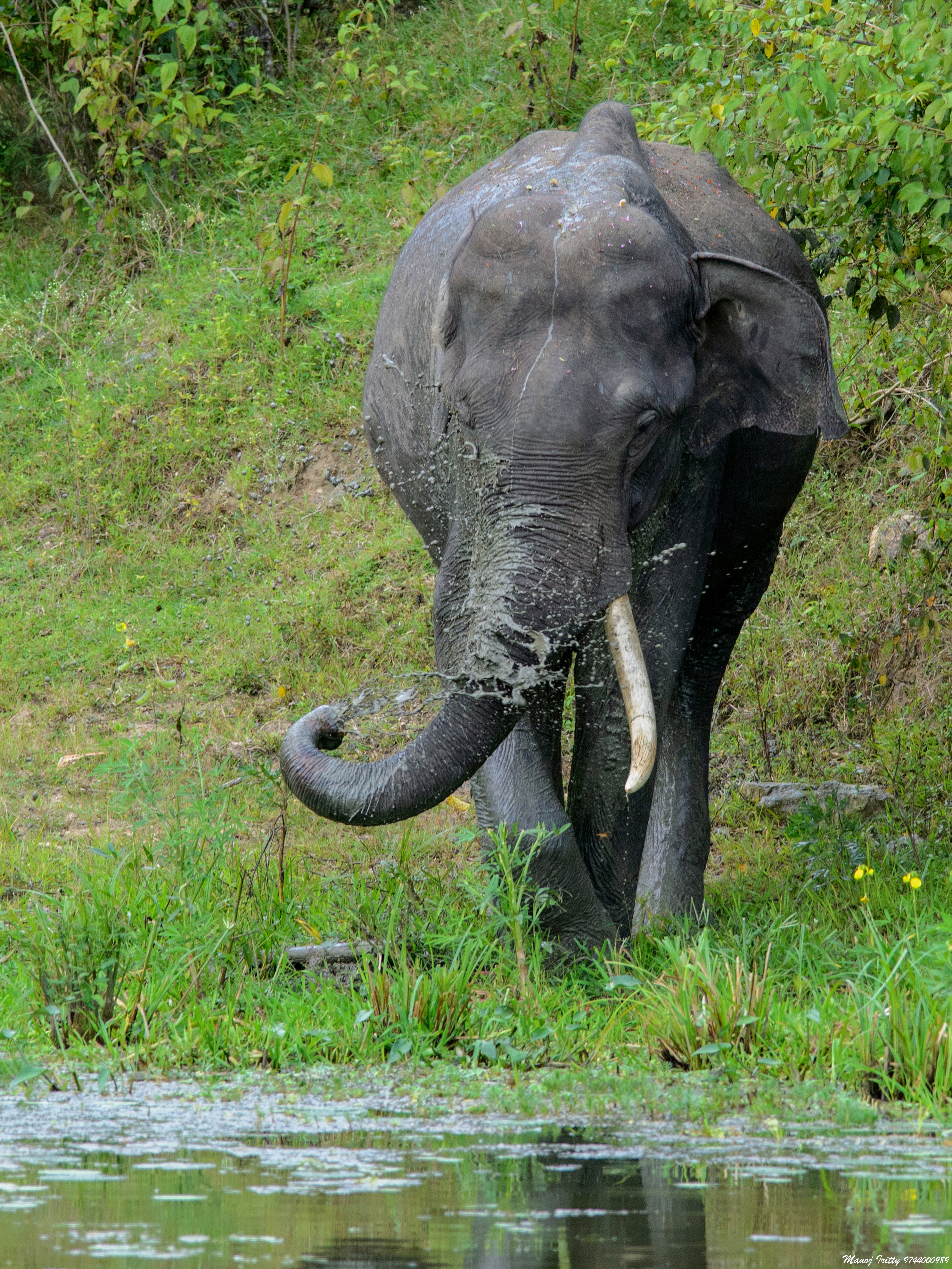 The Asian or Asiatic elephant is the only living species of the genus Elephas and is distributed in Southeast Asia from India in the west to Borneo in the east. Photo taken of Borneo elephant on August 25, 2015.