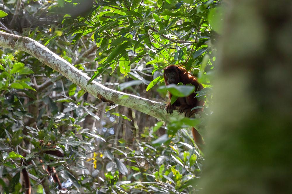 Боливийский ревун (Alouatta sara)