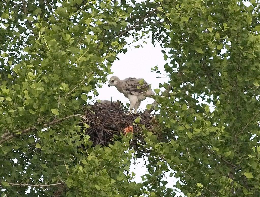 Older Tompkins nestling