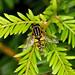 Hoverfly  --- Heliophilus pendulus