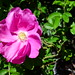 Clarion House, dog rose