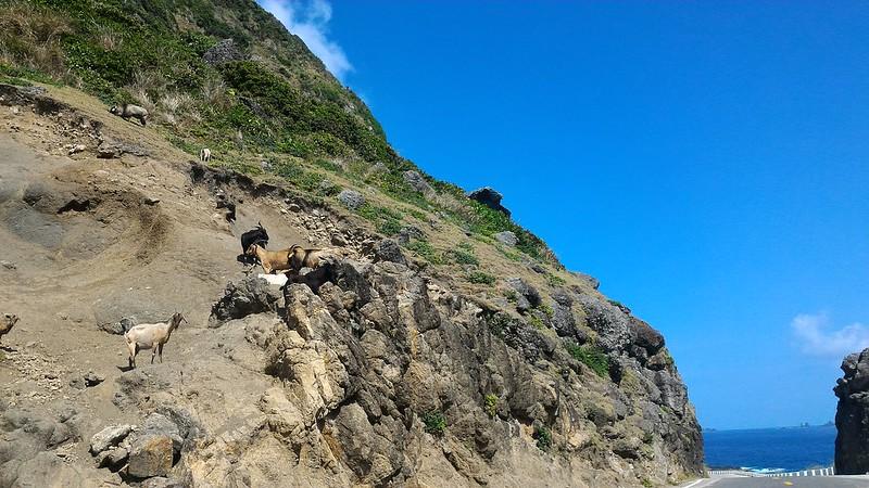 蘭嶼-羊群