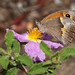 Aegean Meadow Brown (Maniola telmessia) ♀ on Cistus creticus.