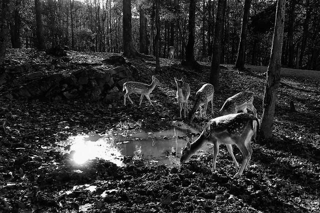 Fallow Deer at water...IMG_4480A