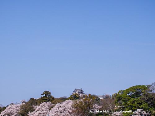 Cherry blossoms 20180403 #01