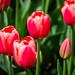 Roozengaarde Tulips-039