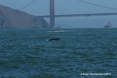 Grey whale in the Golden Gate Straits.