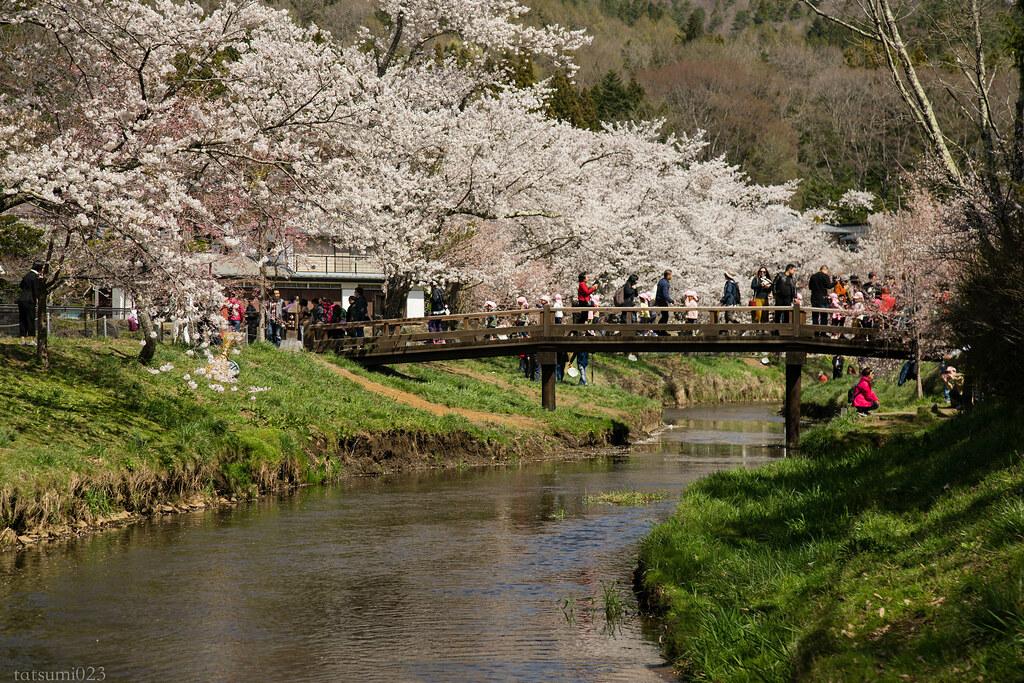 2018-04-13 忍野の桜 002