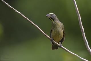 Greyish Saltator (Saltator coerulescens) Sian Ka'an Biosphere Reserve, Mexico 2018