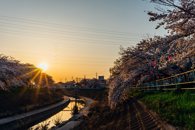 CherryBlossoms_56