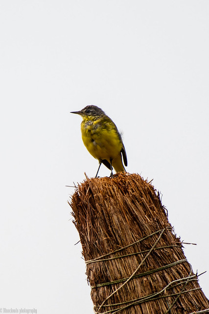 CHU_0129-3 (Yellow Wagtail at the Lekki Conservation center)