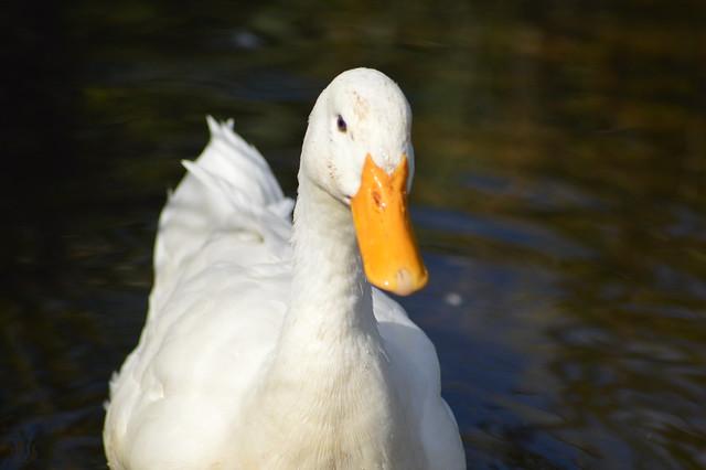 White Duck Closeup, Nikon D3200, Sigma 70-300mm F4-5.6 APO DG Macro HSM
