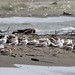 Yellow-legged Gulls (1)