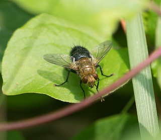 Tachinid Fly--genus Archytas--A. analis complex