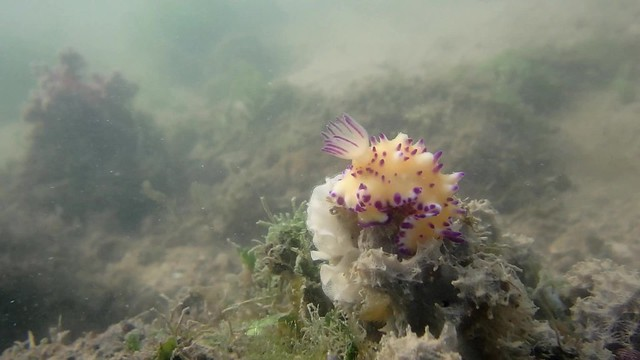 Nudibranch laying eggs, awaiting identification