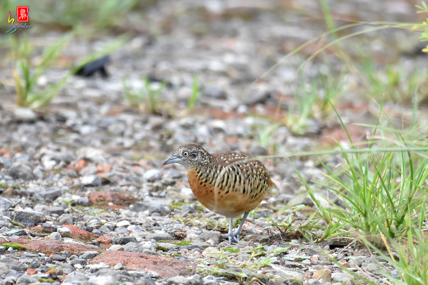 Barred_Buttonquail_2261