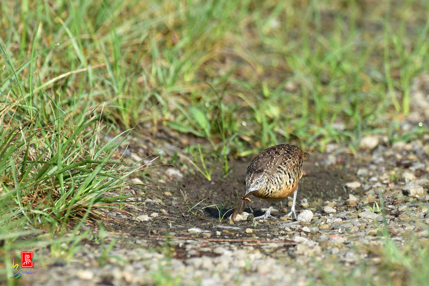 Barred_Buttonquail_3738