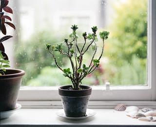 Window sill, plant, Annmount