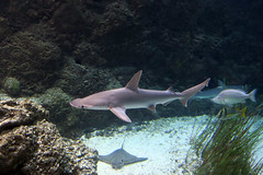 bonnethead through glass