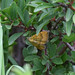 Yellow Shell moth at Chesworth Farm, Horsham