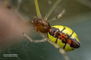 Comb-footed spider (Tidarren sp.) - DSC_2185