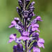 Purple Toadflax.