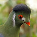 White-cheeked turaco by Foto Martien