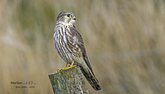 Merlin ( f ) ...North Wales