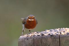 Robin & Mealworm