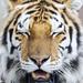 ROG_7363b Tiger