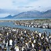 King Penguin Colony (Barbara Evans)