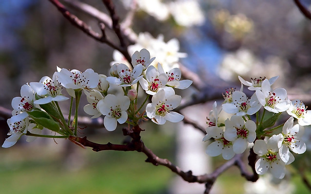 "Cincinnati – Spring Grove Cemetery & Arboretum ""Pear Tree Flowers"""