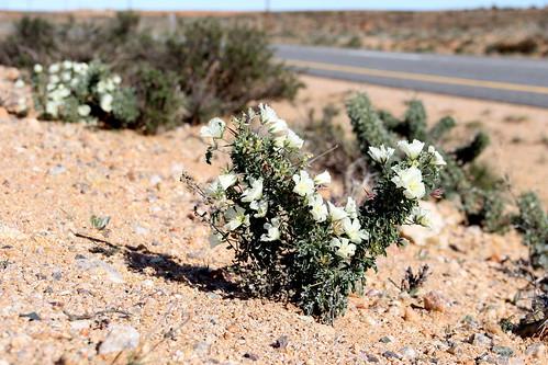 Monsonia crassicaulis plants grow almost on the road