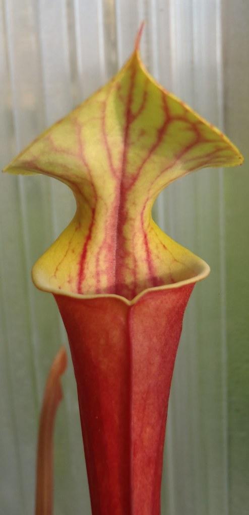 Sarracenia flava var. rubricourpora