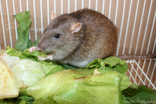 Rattie Molly happily munches salad.