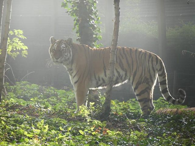 Tiger, Ouwehands Dierenpark Rhenen