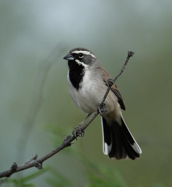 Black-throated Sparrow, Fujifilm X-T2, XF100-400mmF4.5-5.6 R LM OIS WR + 1.4x