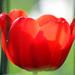 Red Tulip by Rolf-Schweizer
