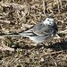 Pied Wagtail (f)