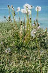 WITHERED DANDELIONS BY THE SEA, 1