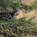 Spruce Grouse / Tétras du Canada