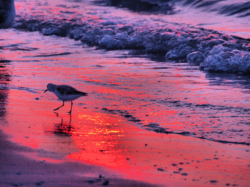 Sanderling at sunrise 20180405