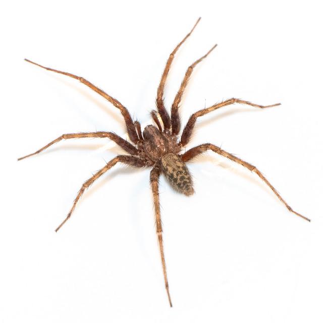 House spider (?)