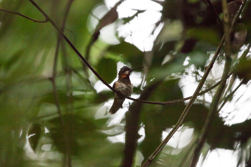Бородатый колибри-отшельник (Threnetes leucurus)