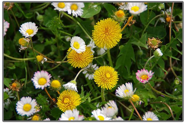 fiori di campo 3, Pentax K20D, Tamron AF 18-250mm F3.5-6.3 Di II LD Aspherical [IF] Macro