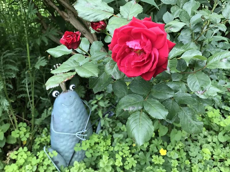 M - Rose