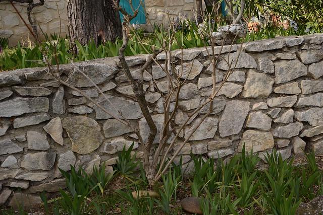 Aloysia citriodora (= Lippia citriodora) - verveine citronnelle 39309222520_bf66627769_z